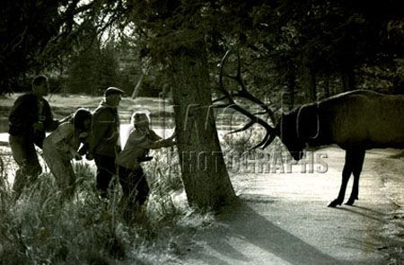 Four tourists take refuge behind a tree from an aggressive elk in Banff National Park, Alberta, Canada. Gary Moore photo.